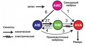 C.Elegans synapses, neural network, sensor neurons, interneurons, motor neurons, neural data processing, обработка в нейронных сетях